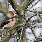 Hawfinch by Alan Forder