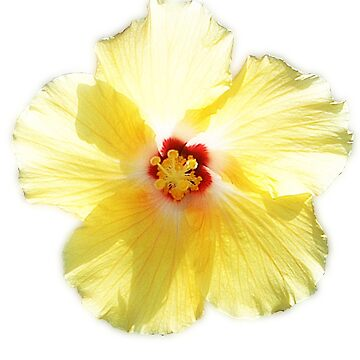Yellow Hibiscus by janmarvin