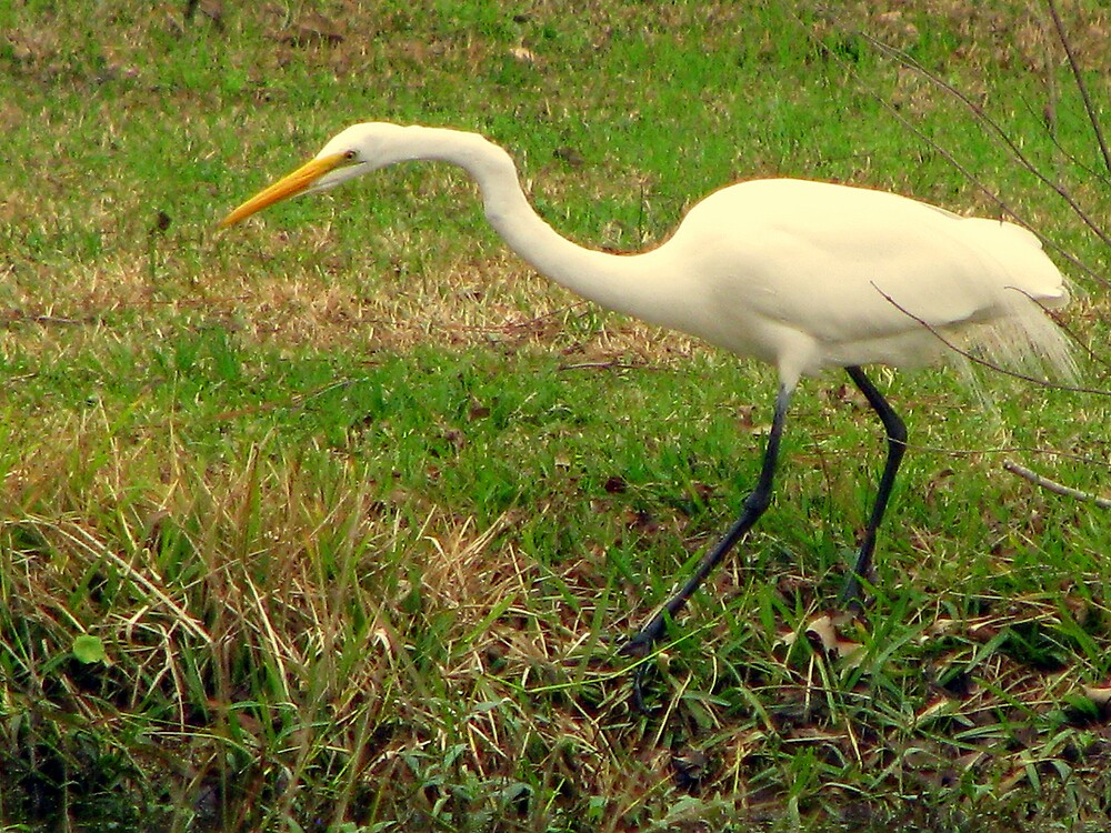 The Great Egret by DottieDees