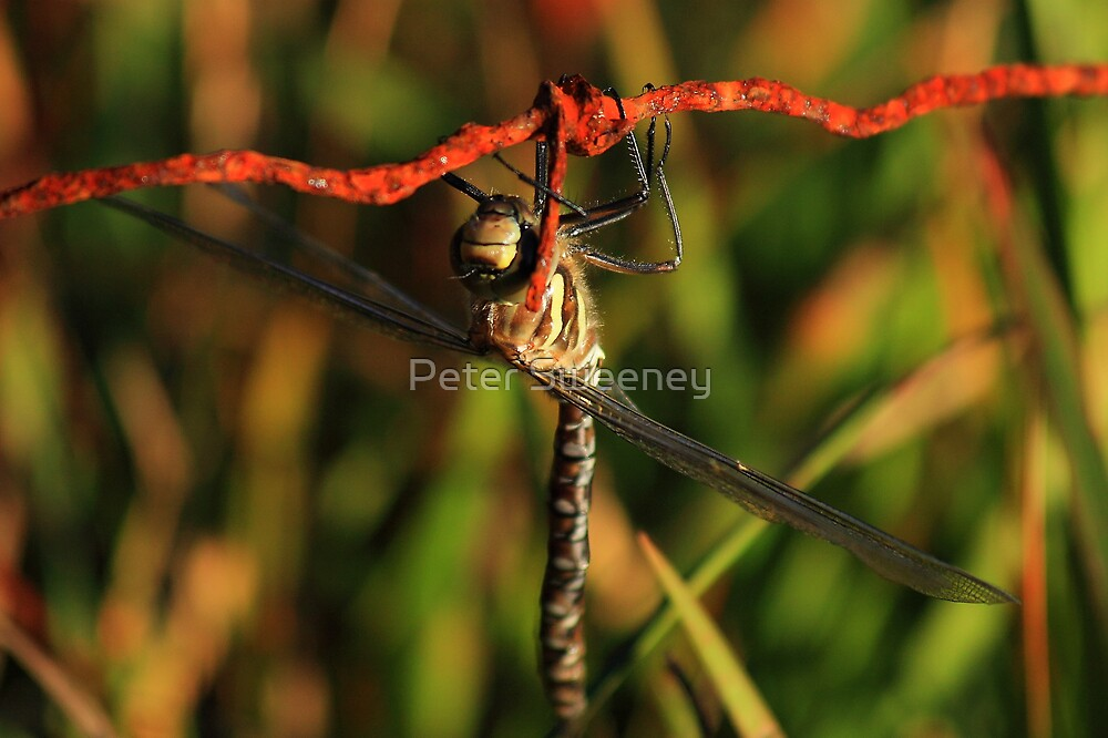 Dragon Fly by Peter Sweeney