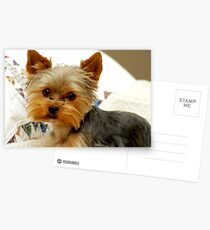 Yorkie in Bed Postcards