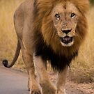 African lion, South Africa by Erik Schlogl