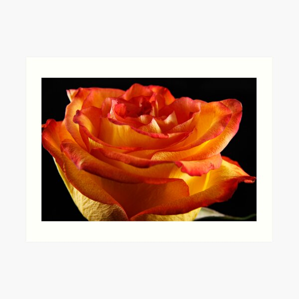 A Peachy Rose Art Print