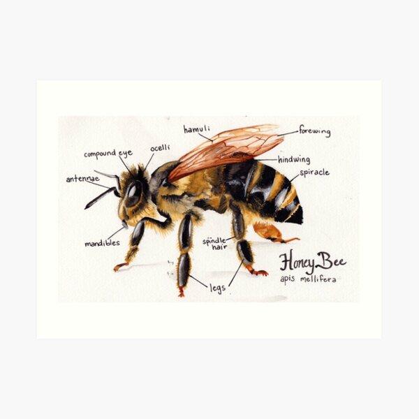 Honey Bee Anatomy Chart Art Print
