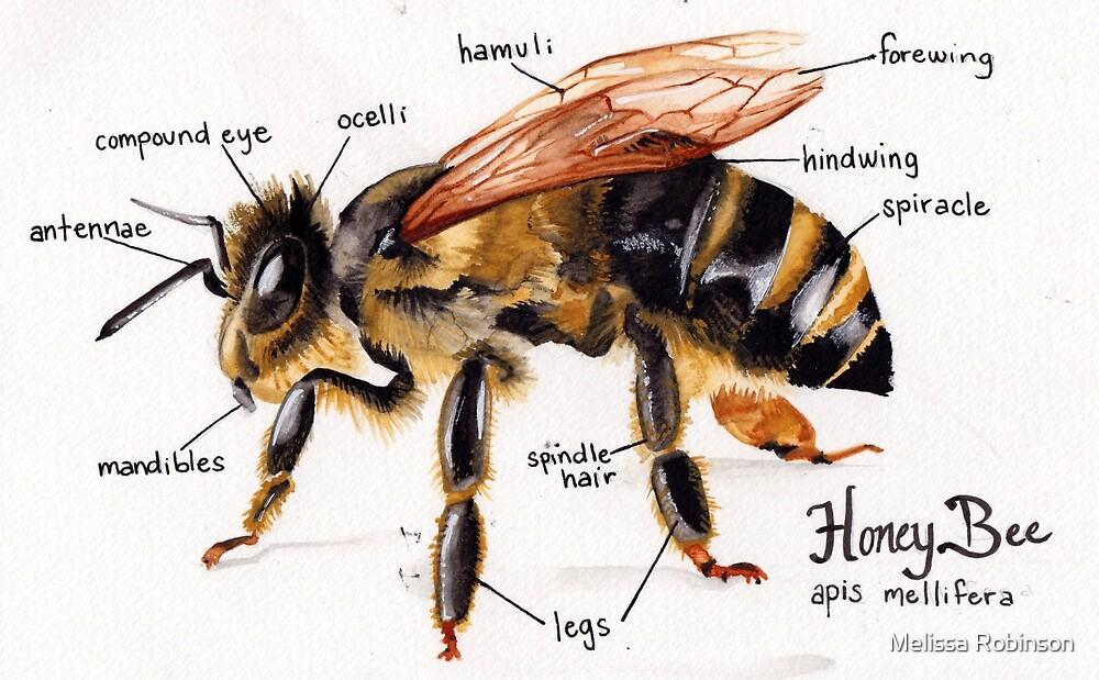 Honey Bee Anatomy Chart\