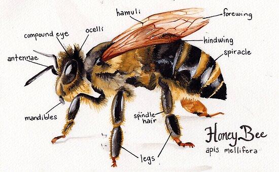 Honey Bee Anatomy Chart Posters By Melissa Robinson Redbubble