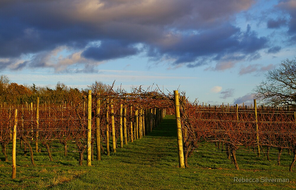 Vineyard at Sunset, Leeds Castle, Kent by Rebecca Silverman