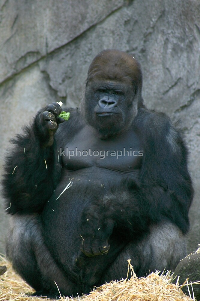 Silverback Gorilla by klphotographics