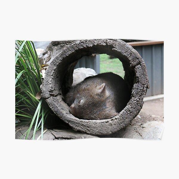 Sleepy Wombat Australia Poster