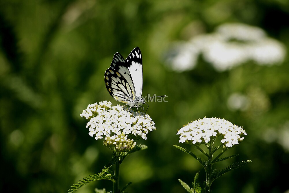 Butterfly on Flower by AlexMac
