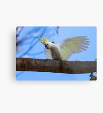 Sulphur Crested Cockatoo with Attitude Metal Print