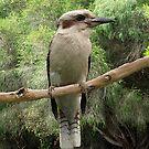 Kookaburra #2 - Gippsland. by Bev Pascoe