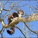 Maine Coon Cat in Tree by Koala