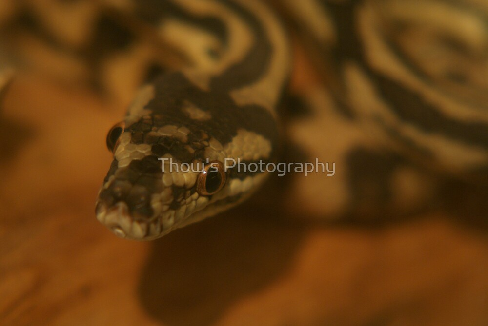 Darwin Carpet Python by Thow's Photography