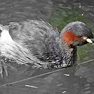 Australasian Grebe, Northern Territory, Australia by Adrian Paul