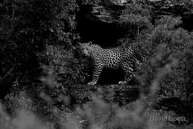 Leopard by David Guest