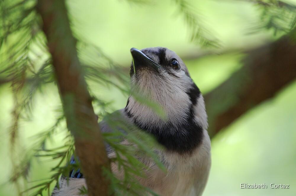 Blue Jay by Elizabeth  Cortez
