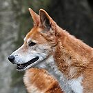 Dingo by Tom Newman