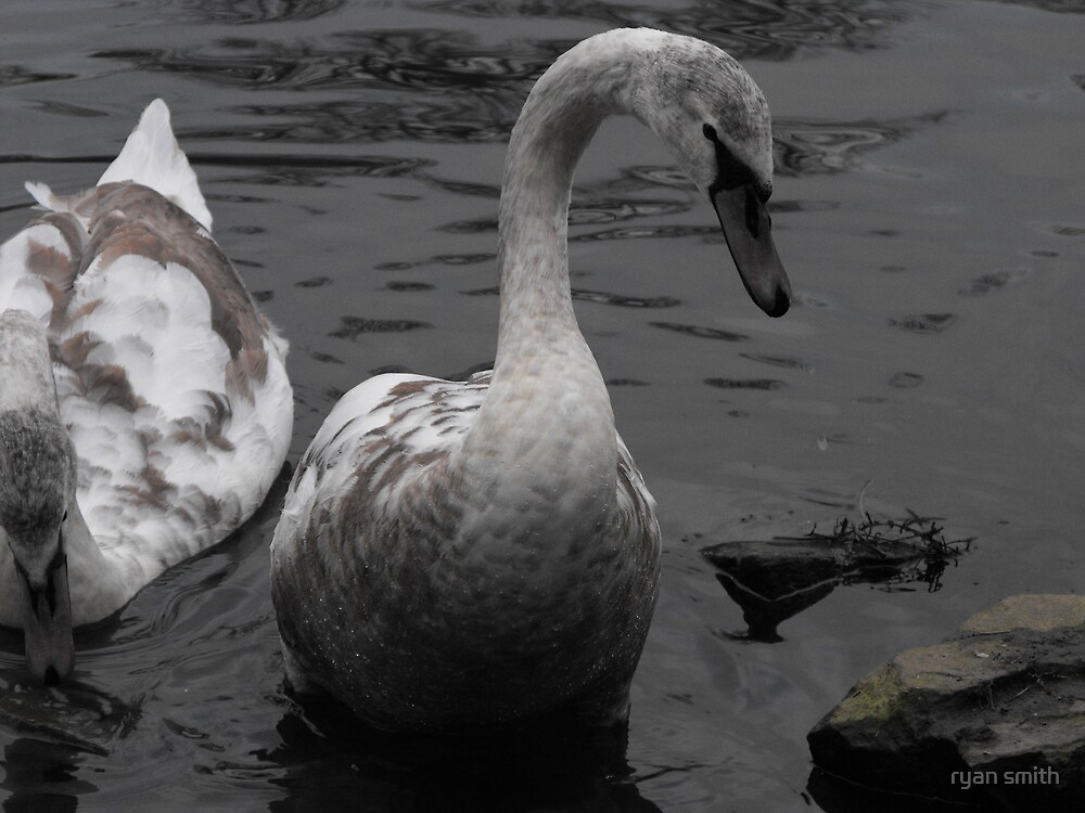 young swan by ryan smith