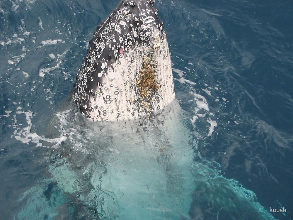 whales of hervey bay by koush