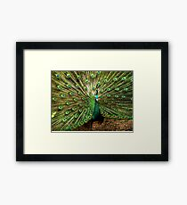 Peacock at Melbourne Zoo   Framed Print