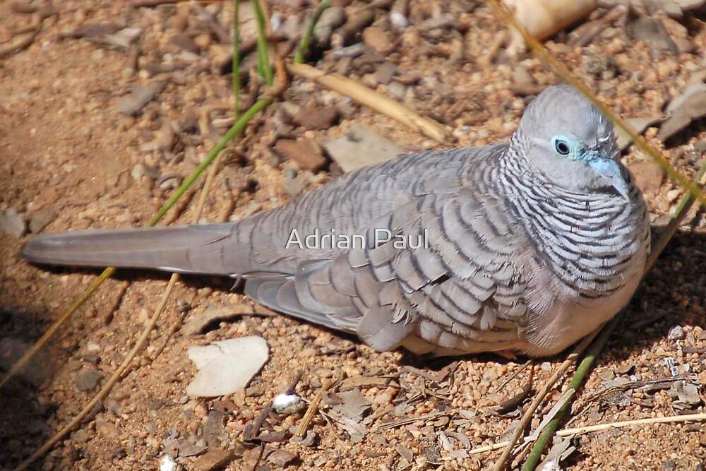 Peaceful Dove, Northern Territory, Australia by Adrian Paul