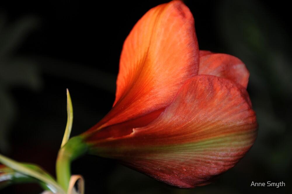 Amaryllis 1 by Anne Smyth