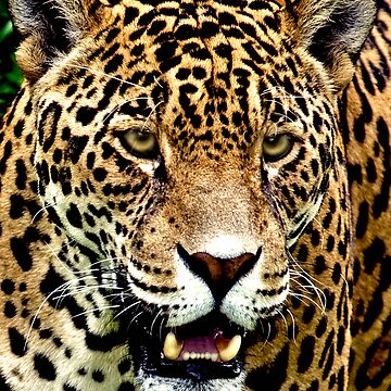 Jaguar  by troutfly