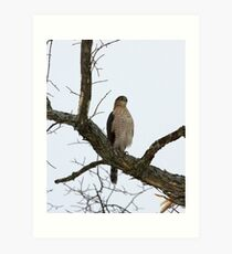 Cooper's Hawk on Watch Art Print