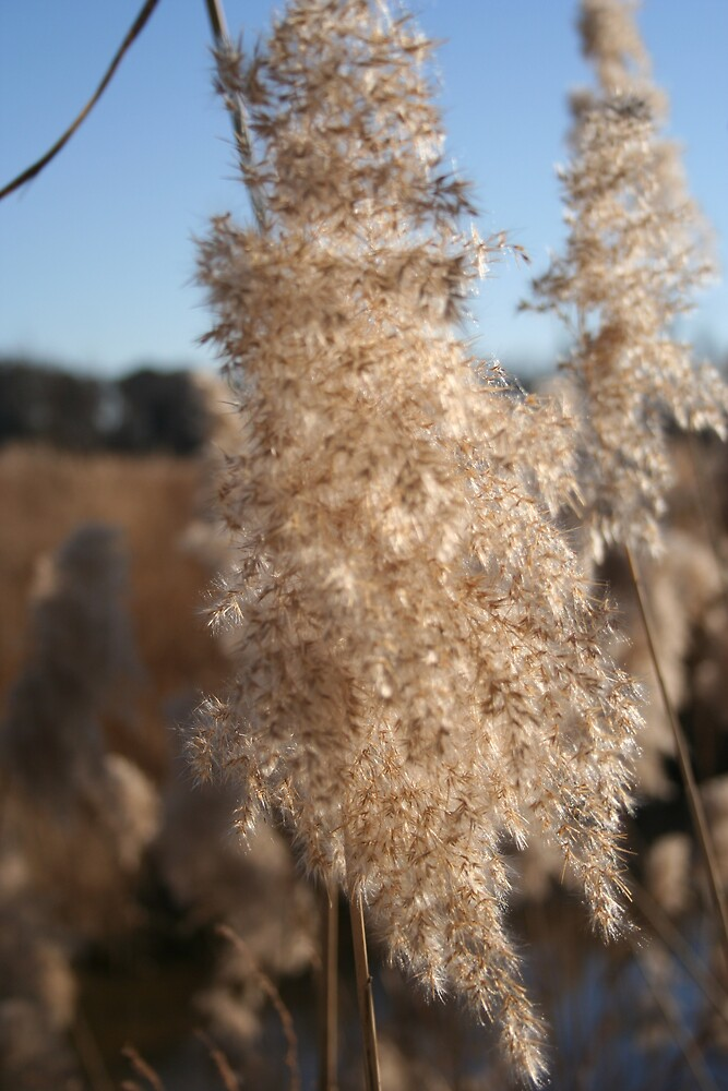 Cat Tails by rebeccagwood