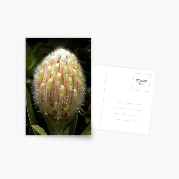 Furry Protea buddy Postcard