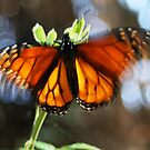 Monarch butterfly in action by Trish Peach