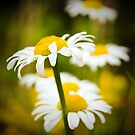 Line Of Daisies by georgiaart1974