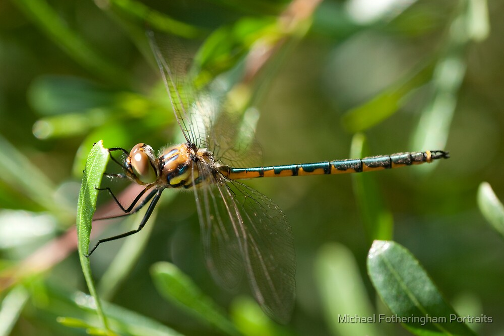 Dragonfly Peek-a-boo by Michael Fotheringham Portraits