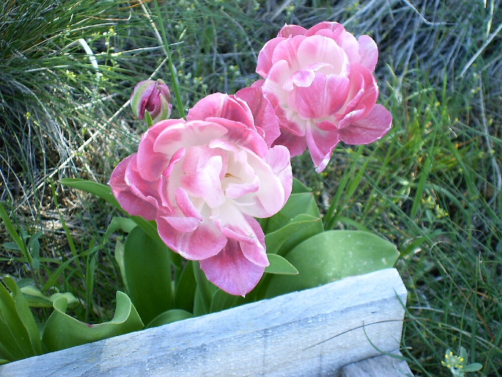 beautius tulips by boondockMabel