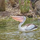 Pelican on Laurimar Lake by Pauline Tims