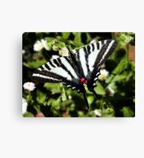 Zebra Swallowtail Tending Daisies Canvas Print