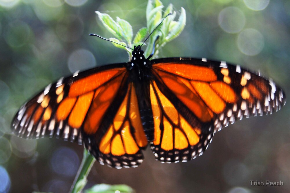 Monarch butterfly  by Trish Peach