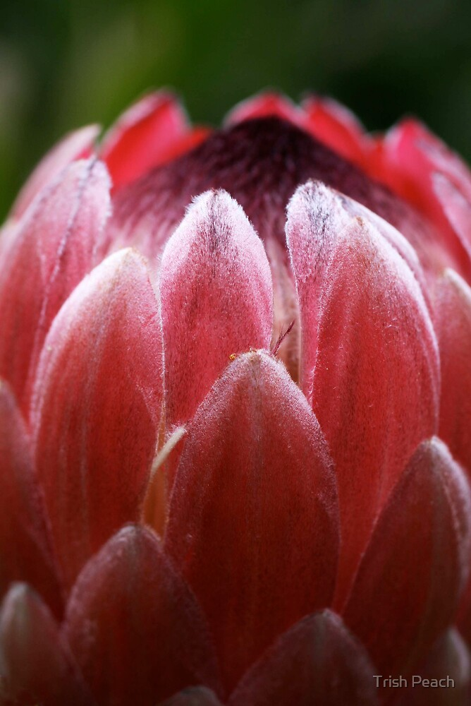 Red Protea Flower by Trish Peach