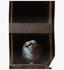 Grumpy white hen in a nest box Poster