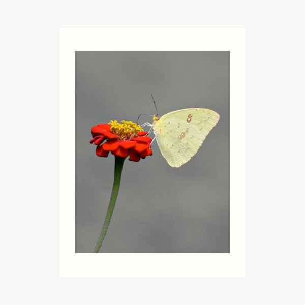 Cloudless Sulphur Art Print