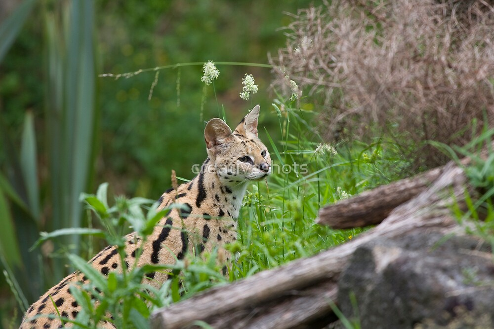 Serval by creativeshots