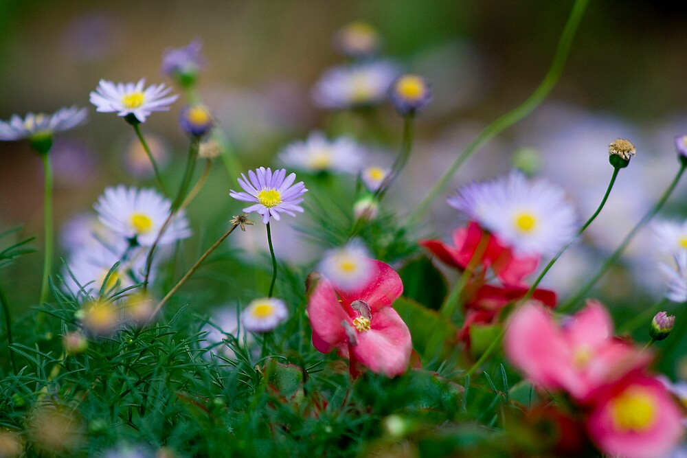 A bed of tiny flowers. by albyphotos