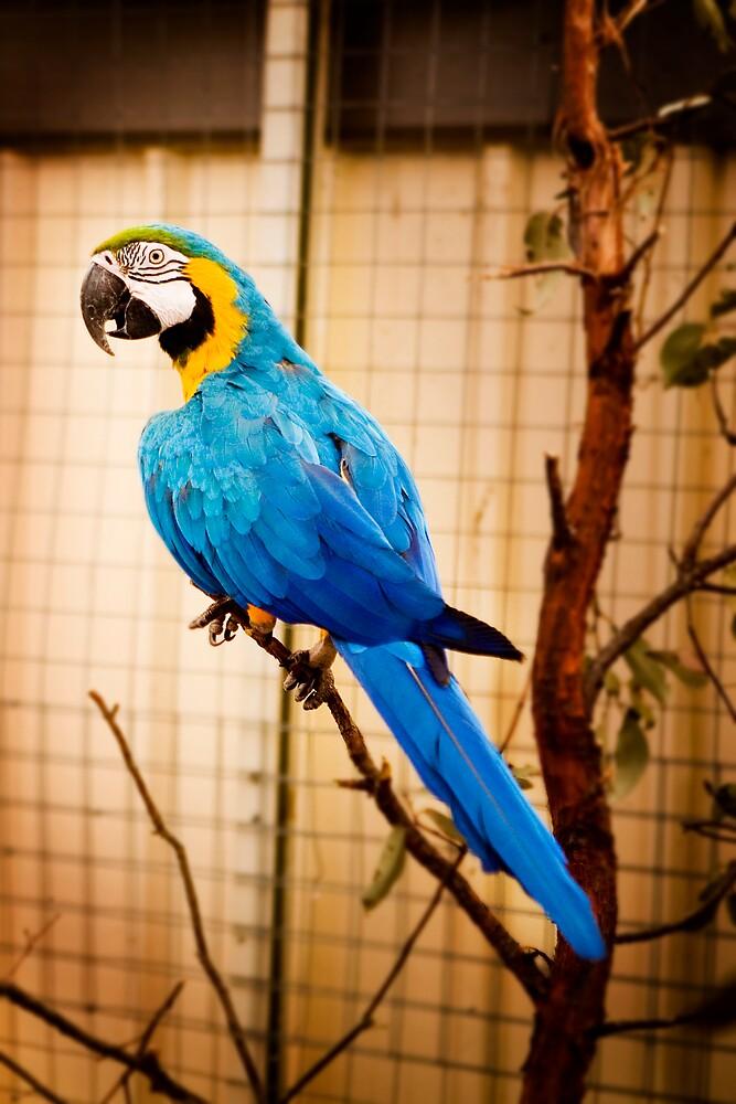 The Macaw by cjmisme