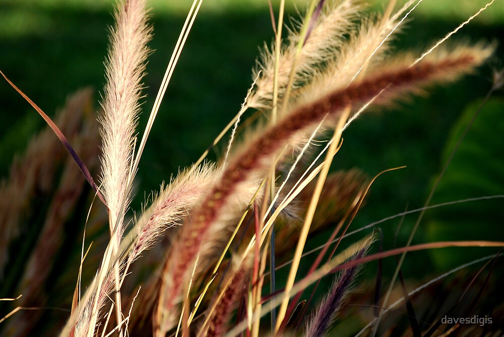 WILD GRASS by davesdigis