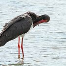Black Stork by Robert Abraham