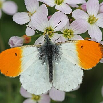 Male Orangetip by Hawker