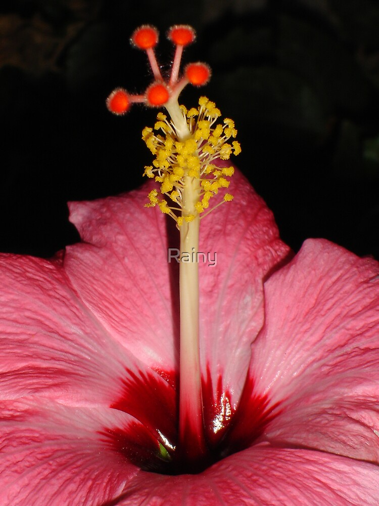 Pink Hibiscus by Rainy