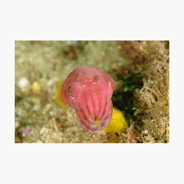 Reaper Cuttlefish Photographic Print