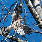Cooper's Hawk Flying Off through the Trees by TJ Baccari Photography